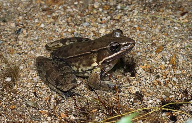 Vaillant's Frog (Lithobates vaillanti)