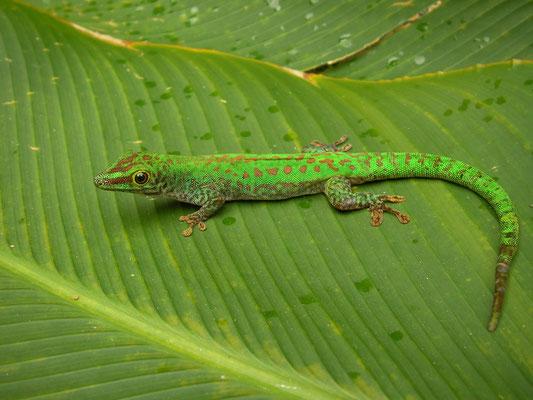 Seychelles Giant Day Gecko (Phelsuma sundbergi ssp. longinsulae)