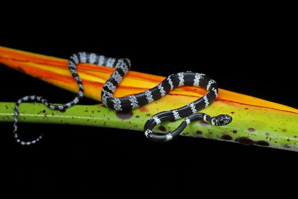 Black-faced Thirst Snake (Dipsas tenuissima)