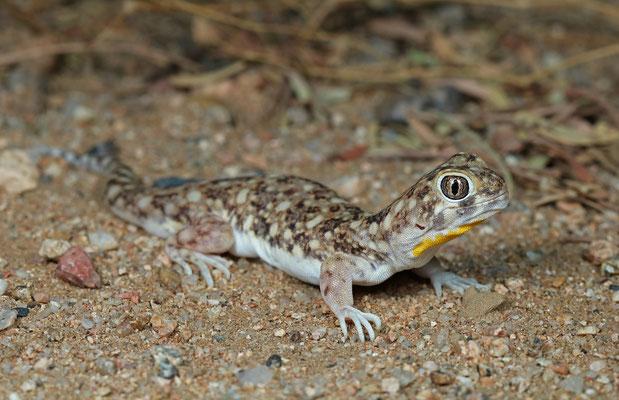 Spotted Barking Geckoes (Ptenopus garrulus)