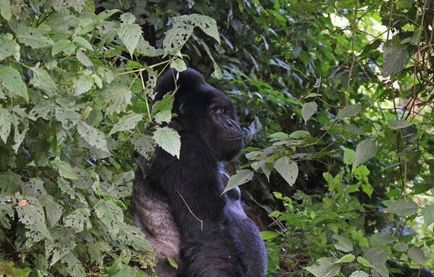 Mountain Gorilla (Gorilla beringei beringei) male silverback