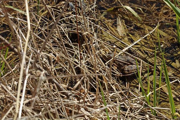 Water Frog (Pelophylax spec.)