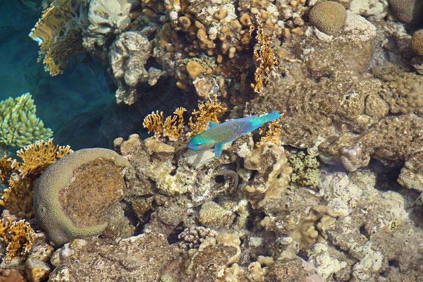 Bullethead Parrotfish (Scarus sordidus)