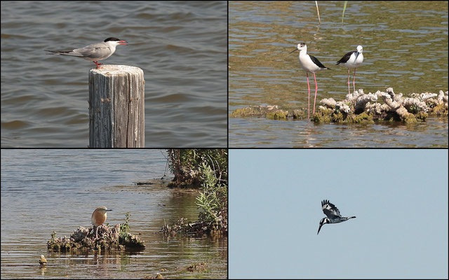 Birds of the Hula Lake: Common Tern (Sterna hirundo), Black-winged Stilt (Himantopus himantopus), Squacco Heron (Ardeola ralloides) and Pied Kingfisher (Ceryle rudis).