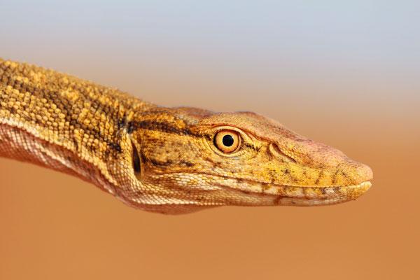 Desert Monitor Lizard (Varanus griseus)