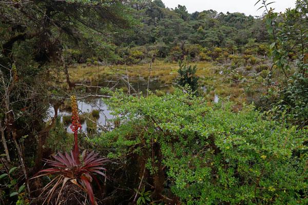 Habitat of Yellow-dotted Webfoot Salamander and Picado's Bromeliad Tree Frog.