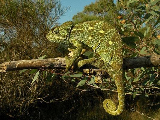 African Chameleon (Chamaeleo africanus), Peloponnese, Greece, October 2012