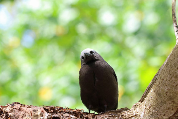 Everywhere you go, curious faces peer at you from the bushes, such as this Lesser Noddy (Anous tenuirostris)