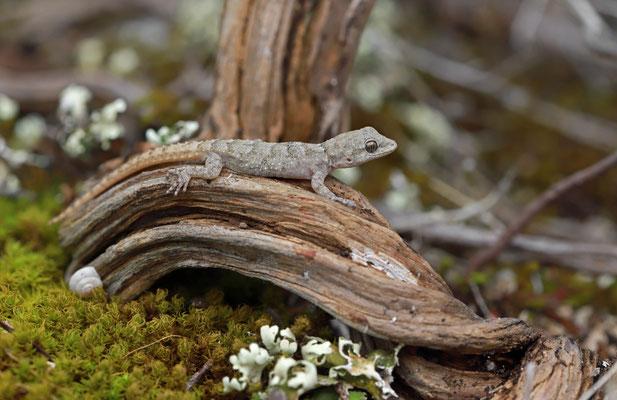 Kotschy's Gecko (Mediodactylus kotschyi) juvenile