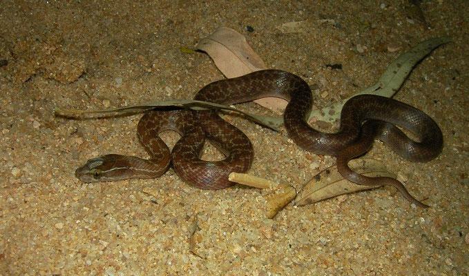 House Snake (Boaedon fuliginosus)