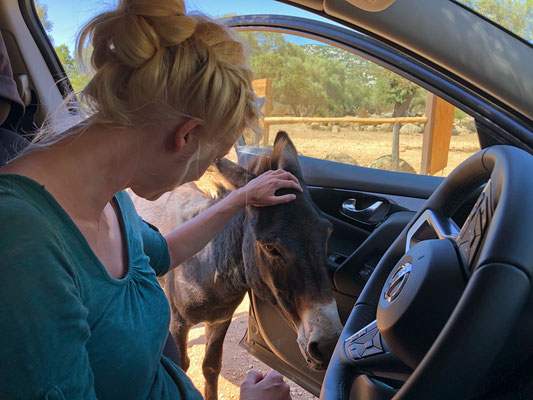If he would have fit in, he would have been sitting with us in the car. This donkey was mad about the AC which is not so hard to understand.