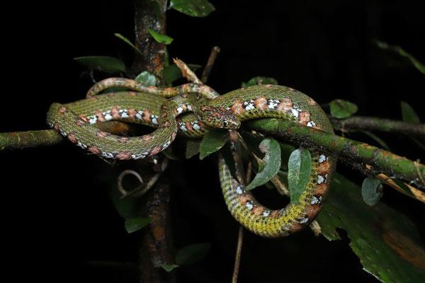 Mottled Snail-eater (Sibon longifrenis)