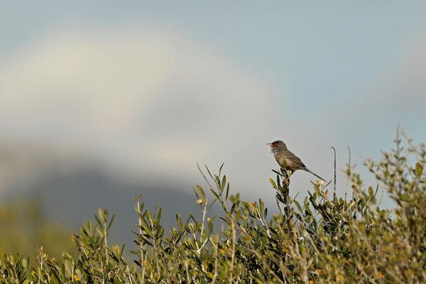 Balearic Warbler (Curruca balearica) singing.