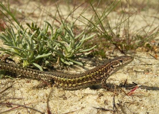 Carbonell's Wall Lizard (Podarcis carbonelli)