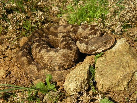 Nose-horned Viper (Vipera ammodytes montandoni), Bulgarian Black Sea Coast, October 2014