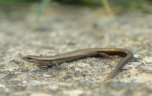 Snake-eyed Skink (Ablepharus kitaibelii)