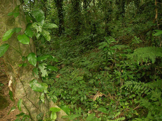 Habitat where both species of chameleon have been found. Mulanje Chameleons prefer the vines along the trees while the Pygmy Chameleons prefer the saplings and smaller bushes.
