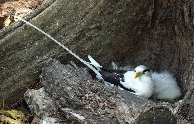White-tailed Tropicbird (Phaethon lepturus) on its nest.