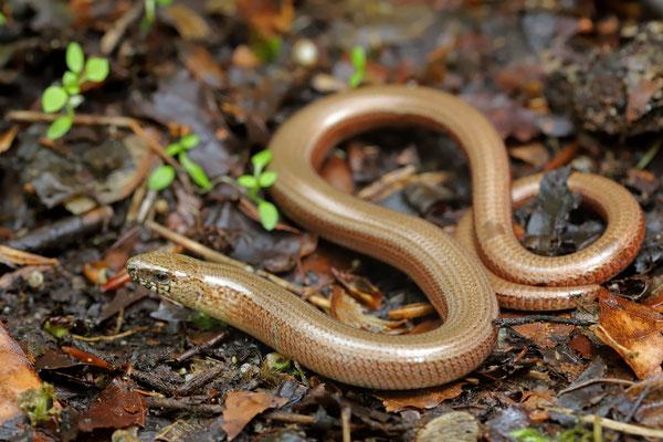 Slow Worm (Anguis fragilis) female