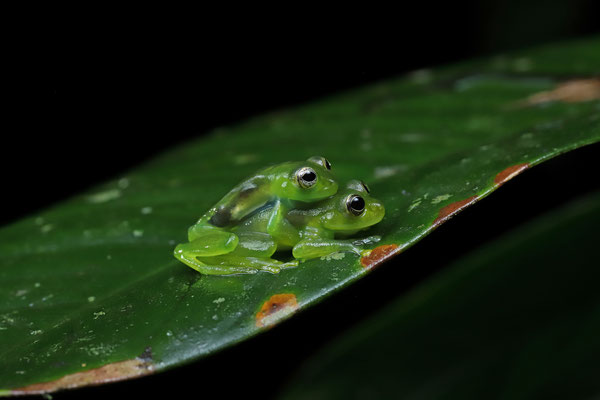 Dwarf Glass Frog (Teratohyla spinosa) amplectant couple