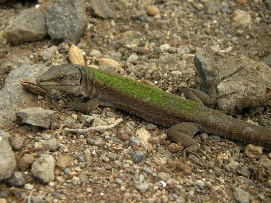 Aeolian Wall Lizard (Podarcis raffonei alvearioi), Scoglio Faraglione, Salina, Italy, April 2014