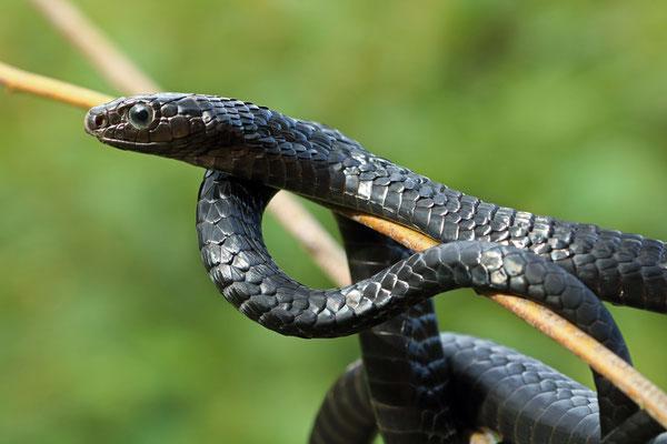 Jackson's Tree Snake (Thrasops jacksonii)