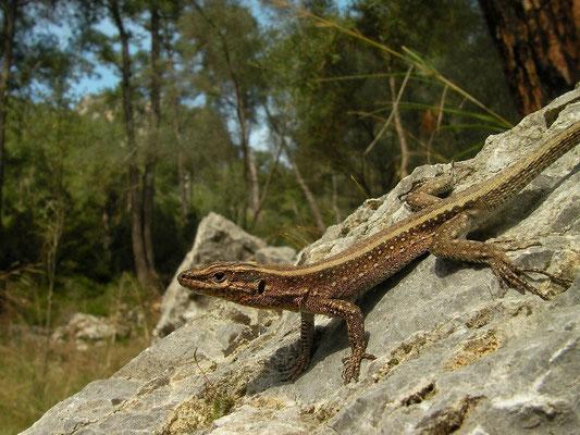 Southwestern Anatolian Rock lizard (Anatololacerta pelasgiana), Göcek, Turkey, February 2013