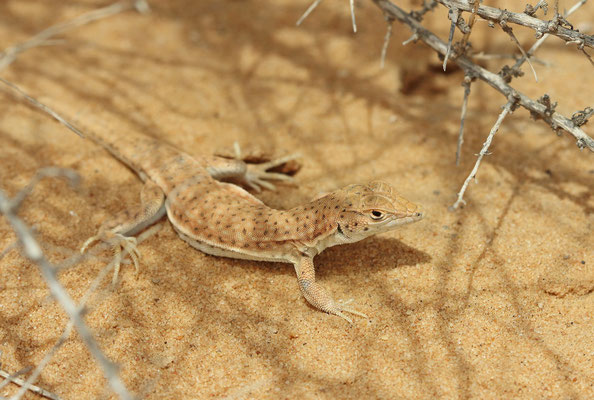 Nidua Fringe-fingered Lizard (Acanthodactylus scutellatus)