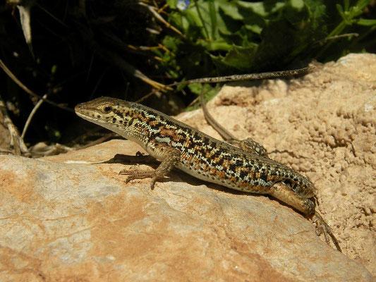 Snake-eyed Lizard (Ophisops elegans centralanatoliae), Van, Turkey, May 2015
