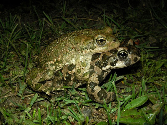 Green Toad (Bufotes viridis) in amplexus