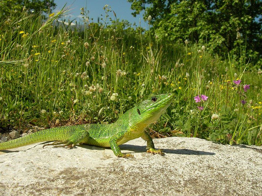 Balkan Green Lizard (Lacerta trilineata), Olympos, Greece, April 2010