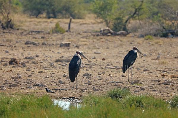 Marabou Storks (Leptoptilos crumenifer)