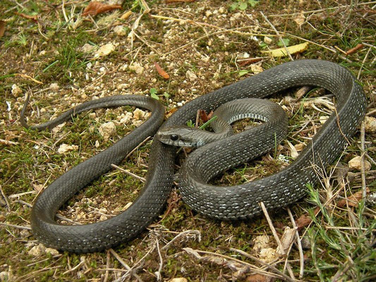 Aesculapian Snake (Zamenis longissimus), Bulgarian Black Sea Coast, October 2014