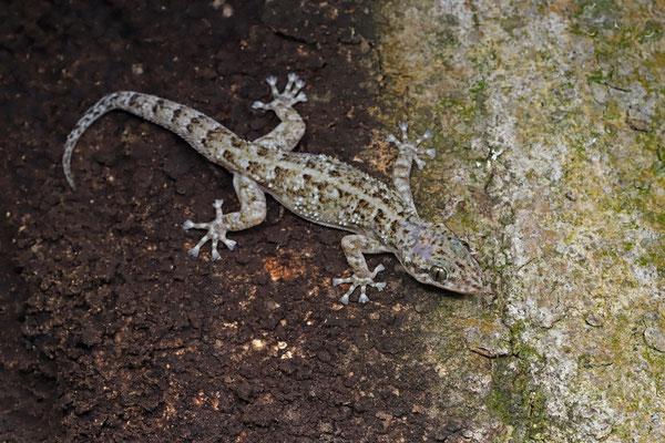 Yellowbelly Leaf-toed Gecko (Phyllodactylus tuberculosus)