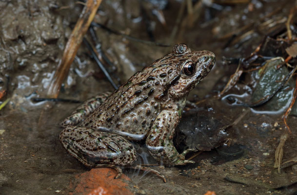 Caucasian Parsley Frog (Pelodytes caucasicus) male