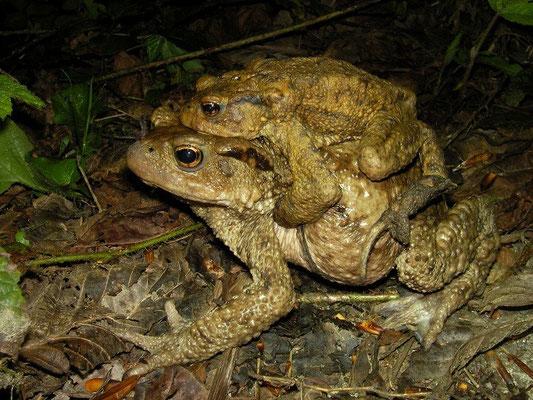 Caucasian Toad (Bufo verrucosissimus) in amplexus