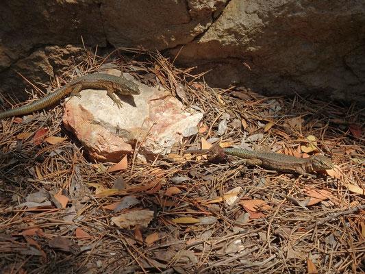 Lilford's Wall Lizards (Podarcis lilfordi gigliolii)