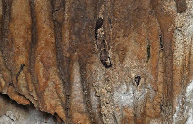 Sopramonte Cave Salamanders (Speleomantes supramontis)