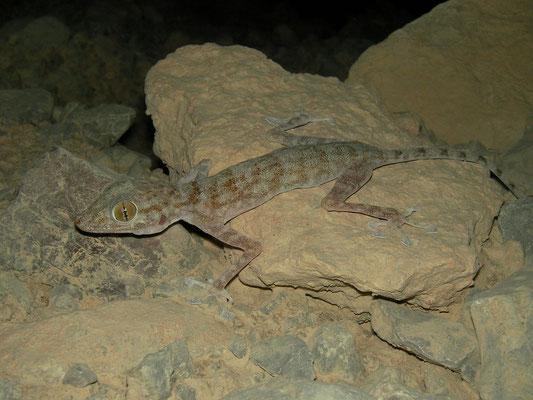 Orlov's Fan-fingered Gecko (Ptyodactylus orlovi)