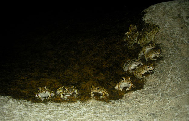 Arabian Toads (Sclerophrys arabica) are very common where there is water