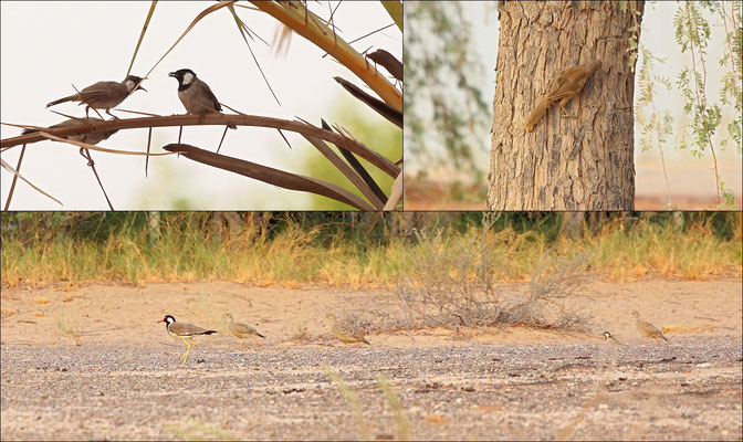 Impression of birds around the Arabian Wildlife Centre. Clockwise: White-eared Bulbuls, Rufous-tailed Scrub Robin and Red-wattled Lapwing among Grey Francolins.