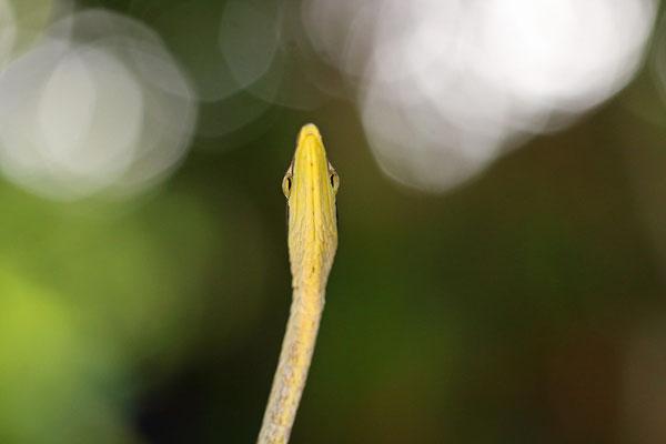 Mexican Vine Snake (Oxybelis aeneus)
