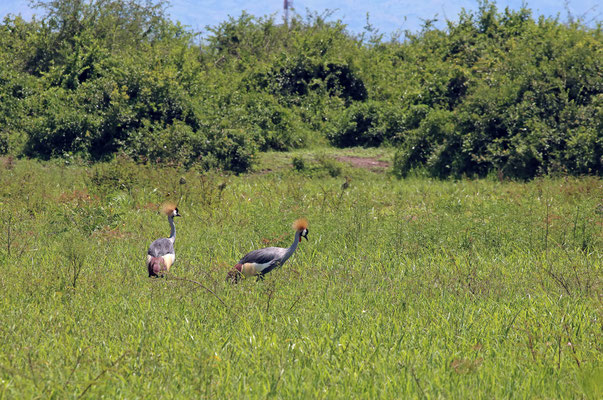 Grey Crowned Crane (Balearica regulorum) at the floodplain where we would return in the evening.