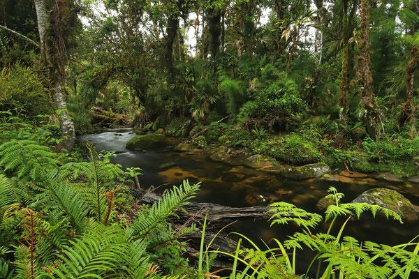 Habitat of Black-speckled Palm Pitviper, Spot-bellied Dink Frog and Red-spotted Webfoot Salamander.