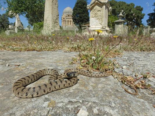 Algerian Whip Snake (Hemorrhois algirus) in habitat