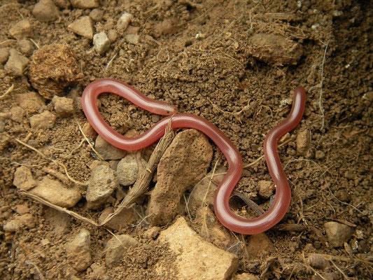 Worm Snake (Xerotyphlops vermicularis)