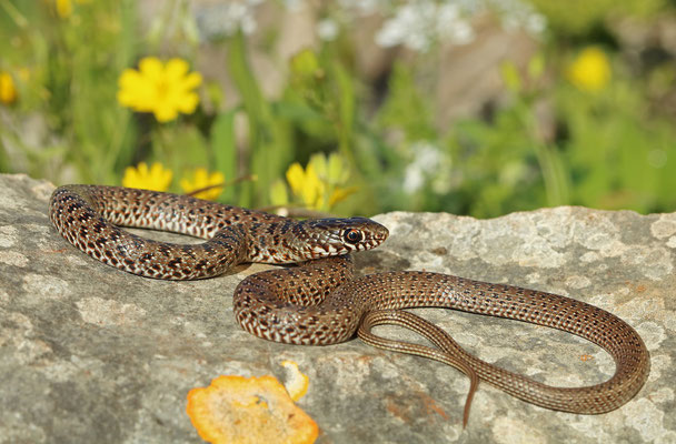 Black Whip Snake (Dolichophis jugularis) juvenile