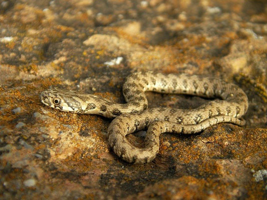 Viperine Snake (Natrix maura), Berga, Spain, May 2012