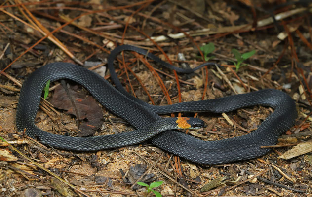 Ringneck Coffee Snake (Ninia diademata)