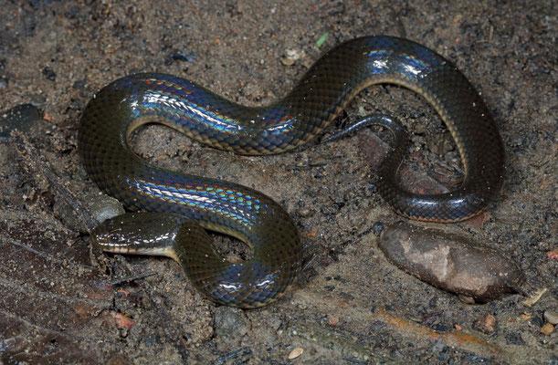 Rice Paddy Snake (Hypsiscopus plumbea)